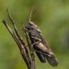 Raudonsparnis tarkšlys – Psophus stridulus | Fotografijos autorius : Giedrius Markevičius | © Macrogamta.lt | Šis tinklapis priklauso bendruomenei kuri domisi makro fotografija ir fotografuoja gyvąjį makro pasaulį.