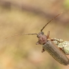 Rudasis medkirtis - Arhopalus rusticus | Fotografijos autorius : Giedrius Markevičius | © Macrogamta.lt | Šis tinklapis priklauso bendruomenei kuri domisi makro fotografija ir fotografuoja gyvąjį makro pasaulį.