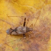 Rudmargė žolblakė - Phytocoris intricatus | Fotografijos autorius : Žilvinas Pūtys | © Macrogamta.lt | Šis tinklapis priklauso bendruomenei kuri domisi makro fotografija ir fotografuoja gyvąjį makro pasaulį.