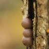 Rutulinė raudenė - Lycogala epidendrum | Fotografijos autorius : Vidas Brazauskas | © Macrogamta.lt | Šis tinklapis priklauso bendruomenei kuri domisi makro fotografija ir fotografuoja gyvąjį makro pasaulį.