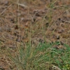 Smėlyninis eraičinas - Festuca psammophila   Fotografijos autorius : Kęstutis Obelevičius   © Macrogamta.lt   Šis tinklapis priklauso bendruomenei kuri domisi makro fotografija ir fotografuoja gyvąjį makro pasaulį.