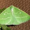 Smaragdinis žaliasprindis - Thetidia smaragdaria   Fotografijos autorius : Ramunė Vakarė   © Macrogamta.lt   Šis tinklapis priklauso bendruomenei kuri domisi makro fotografija ir fotografuoja gyvąjį makro pasaulį.