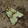 Smaragdinis smiltinukas - Staurophora celsia | Fotografijos autorius : Vitalijus Bačianskas | © Macrogamta.lt | Šis tinklapis priklauso bendruomenei kuri domisi makro fotografija ir fotografuoja gyvąjį makro pasaulį.