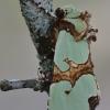 Smaragdinis smiltinukas - Staurophora celsia   Fotografijos autorius : Arūnas Eismantas   © Macrogamta.lt   Šis tinklapis priklauso bendruomenei kuri domisi makro fotografija ir fotografuoja gyvąjį makro pasaulį.