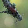 Spygliuotinis žieduolis - Anastrangalia dubia | Fotografijos autorius : Giedrius Markevičius | © Macrogamta.lt | Šis tinklapis priklauso bendruomenei kuri domisi makro fotografija ir fotografuoja gyvąjį makro pasaulį.