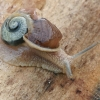 Lapinė krūmsraigė - Fruticicola fruticum ? | Fotografijos autorius : Gintautas Steiblys | © Macrogamta.lt | Šis tinklapis priklauso bendruomenei kuri domisi makro fotografija ir fotografuoja gyvąjį makro pasaulį.