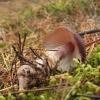 Sviestinė plempė - Rhodocollybia butyracea | Fotografijos autorius : Vytautas Gluoksnis | © Macrogamta.lt | Šis tinklapis priklauso bendruomenei kuri domisi makro fotografija ir fotografuoja gyvąjį makro pasaulį.