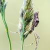 Tamsusis storažandis | Dark stretch-spider | Tetragnatha nigrita | Fotografijos autorius : Darius Baužys | © Macrogamta.lt | Šis tinklapis priklauso bendruomenei kuri domisi makro fotografija ir fotografuoja gyvąjį makro pasaulį.