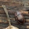 Šliužagraužis maitvabalis - Phosphuga atrata | Fotografijos autorius : Vidas Brazauskas | © Macrogamta.lt | Šis tinklapis priklauso bendruomenei kuri domisi makro fotografija ir fotografuoja gyvąjį makro pasaulį.