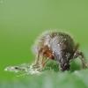 Straubliukas - Barypeithes pellucidus | Fotografijos autorius : Vidas Brazauskas | © Macrogamta.lt | Šis tinklapis priklauso bendruomenei kuri domisi makro fotografija ir fotografuoja gyvąjį makro pasaulį.