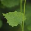 Vaistinė česnakūnė - Alliaria petiolata | Fotografijos autorius : Vidas Brazauskas | © Macrogamta.lt | Šis tinklapis priklauso bendruomenei kuri domisi makro fotografija ir fotografuoja gyvąjį makro pasaulį.