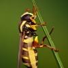 Žiedmusė - Xanthogramma citrofasciatum | Fotografijos autorius : Lukas Jonaitis | © Macrogamta.lt | Šis tinklapis priklauso bendruomenei kuri domisi makro fotografija ir fotografuoja gyvąjį makro pasaulį.