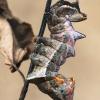 Gelsvasis kuoduotis - Notodonta ziczac, vikšras  | Fotografijos autorius : Lukas Jonaitis | © Macrogamta.lt | Šis tinklapis priklauso bendruomenei kuri domisi makro fotografija ir fotografuoja gyvąjį makro pasaulį.