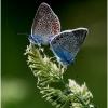 Didieji melsviai - Polyommatus amandus | Fotografijos autorius : Valdimantas Grigonis | © Macrogamta.lt | Šis tinklapis priklauso bendruomenei kuri domisi makro fotografija ir fotografuoja gyvąjį makro pasaulį.