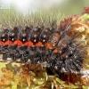 Pušyninis strėlinukas - Acronicta menyanthidis, vikšras | Fotografijos autorius : Rasa Gražulevičiūtė | © Macrogamta.lt | Šis tinklapis priklauso bendruomenei kuri domisi makro fotografija ir fotografuoja gyvąjį makro pasaulį.