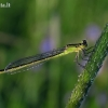 Elegantiškoji strėliukė - Ischnura elegans   Fotografijos autorius : Vytautas Uselis   © Macrogamta.lt   Šis tinklapis priklauso bendruomenei kuri domisi makro fotografija ir fotografuoja gyvąjį makro pasaulį.