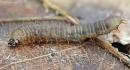 Storakojis uodas - Bibio sp., lerva | Fotografijos autorius : Gintautas Steiblys | © Macrogamta.lt | Šis tinklapis priklauso bendruomenei kuri domisi makro fotografija ir fotografuoja gyvąjį makro pasaulį.