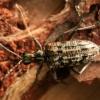 Briaunotasis ragijus - Rhagium inquisitor  | Fotografijos autorius : Ramunė Vakarė | © Macrogamta.lt | Šis tinklapis priklauso bendruomenei kuri domisi makro fotografija ir fotografuoja gyvąjį makro pasaulį.