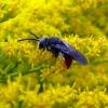 Bitė - Sphecodes sp.    Fotografijos autorius : Vitalii Alekseev   © Macrogamta.lt   Šis tinklapis priklauso bendruomenei kuri domisi makro fotografija ir fotografuoja gyvąjį makro pasaulį.