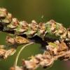 Pelyninė kukulija, vikšras - Cucullia absinthii | Fotografijos autorius : Ramunė Vakarė | © Macrogamta.lt | Šis tinklapis priklauso bendruomenei kuri domisi makro fotografija ir fotografuoja gyvąjį makro pasaulį.