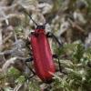 Paprastasis raudonvabalis - Pyrochroa coccinea | Fotografijos autorius : Vytautas Gluoksnis | © Macrogamta.lt | Šis tinklapis priklauso bendruomenei kuri domisi makro fotografija ir fotografuoja gyvąjį makro pasaulį.