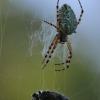 Ąžuolalapis verpstūnas - Aculepeira ceropegia | Fotografijos autorius : Agnė Našlėnienė | © Macrogamta.lt | Šis tinklapis priklauso bendruomenei kuri domisi makro fotografija ir fotografuoja gyvąjį makro pasaulį.