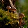 Šalmabudė - Mycena sp.    Fotografijos autorius : Irenėjas Urbonavičius   © Macrogamta.lt   Šis tinklapis priklauso bendruomenei kuri domisi makro fotografija ir fotografuoja gyvąjį makro pasaulį.