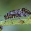 Šiengraužis - Metylophorus nebulosus   Fotografijos autorius : Žilvinas Pūtys   © Macrogamta.lt   Šis tinklapis priklauso bendruomenei kuri domisi makro fotografija ir fotografuoja gyvąjį makro pasaulį.