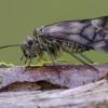 Šiengraužis || Metylophorus nebulosus  | Fotografijos autorius : Darius Baužys | © Macrogamta.lt | Šis tinklapis priklauso bendruomenei kuri domisi makro fotografija ir fotografuoja gyvąjį makro pasaulį.