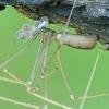 Šienpjovinis virpūnėlis - Pholcus opilionoides | Fotografijos autorius : Gintautas Steiblys | © Macrogamta.lt | Šis tinklapis priklauso bendruomenei kuri domisi makro fotografija ir fotografuoja gyvąjį makro pasaulį.