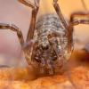 Šienpjovys - Oligolophus tridens | Fotografijos autorius : Žilvinas Pūtys | © Macrogamta.lt | Šis tinklapis priklauso bendruomenei kuri domisi makro fotografija ir fotografuoja gyvąjį makro pasaulį.