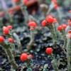 Šiurė - Cladonia sp. | Fotografijos autorius : Ramunė Vakarė | © Macrogamta.lt | Šis tinklapis priklauso bendruomenei kuri domisi makro fotografija ir fotografuoja gyvąjį makro pasaulį.