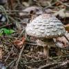 Šiurkščioji žvynabudė | Shaggy parasol | Chlorophyllum rhacodes | Fotografijos autorius : Darius Baužys | © Macrogamta.lt | Šis tinklapis priklauso bendruomenei kuri domisi makro fotografija ir fotografuoja gyvąjį makro pasaulį.