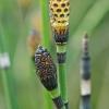 Šiurkštusis asiūklis - Equisetum hyemale | Fotografijos autorius : Gintautas Steiblys | © Macrogamta.lt | Šis tinklapis priklauso bendruomenei kuri domisi makro fotografija ir fotografuoja gyvąjį makro pasaulį.