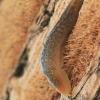 Tinklinis dirvašliužis - Deroceras reticulatum   Fotografijos autorius : Gintautas Steiblys   © Macrogamta.lt   Šis tinklapis priklauso bendruomenei kuri domisi makro fotografija ir fotografuoja gyvąjį makro pasaulį.