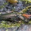 Šukaūsis pievaspragšis - Ctenicera pectinicornis    Fotografijos autorius : Kazimieras Martinaitis   © Macrogamta.lt   Šis tinklapis priklauso bendruomenei kuri domisi makro fotografija ir fotografuoja gyvąjį makro pasaulį.