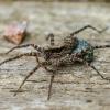 Šuolininkas | Pardosa sp. | Fotografijos autorius : Darius Baužys | © Macrogamta.lt | Šis tinklapis priklauso bendruomenei kuri domisi makro fotografija ir fotografuoja gyvąjį makro pasaulį.