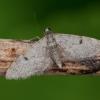 Ūglinis sprindytis - Eupithecia indigata | Fotografijos autorius : Žilvinas Pūtys | © Macrogamta.lt | Šis tinklapis priklauso bendruomenei kuri domisi makro fotografija ir fotografuoja gyvąjį makro pasaulį.