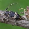Dvyninis margūnas - Leiopus linnei | Fotografijos autorius : Romas Ferenca | © Macrogamta.lt | Šis tinklapis priklauso bendruomenei kuri domisi makro fotografija ir fotografuoja gyvąjį makro pasaulį.