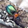 Žaliagalvis lapažygis - Lebia chlorocephala | Fotografijos autorius : Kazimieras Martinaitis | © Macrogamta.lt | Šis tinklapis priklauso bendruomenei kuri domisi makro fotografija ir fotografuoja gyvąjį makro pasaulį.