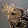 Žaliasis žvilgūnas - Diachrysia chrysitis | Fotografijos autorius : Kazimieras Martinaitis | © Macrogamta.lt | Šis tinklapis priklauso bendruomenei kuri domisi makro fotografija ir fotografuoja gyvąjį makro pasaulį.