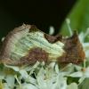 Žaliasis juostuotasis žvilgūnas - Diachrysia tutti (=stenochrysis) | Fotografijos autorius : Žilvinas Pūtys | © Macrogamta.lt | Šis tinklapis priklauso bendruomenei kuri domisi makro fotografija ir fotografuoja gyvąjį makro pasaulį.