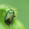 Žaliasis paslėptagalvis - Cryptocephalus sericeus | Fotografijos autorius : Vidas Brazauskas | © Macrogamta.lt | Šis tinklapis priklauso bendruomenei kuri domisi makro fotografija ir fotografuoja gyvąjį makro pasaulį.