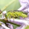 Žaliasis pjūklelis - Rhogogaster viridis | Fotografijos autorius : Kazimieras Martinaitis | © Macrogamta.lt | Šis tinklapis priklauso bendruomenei kuri domisi makro fotografija ir fotografuoja gyvąjį makro pasaulį.