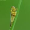 Žalioji cikadelė - Cicadella viridis | Fotografijos autorius : Vidas Brazauskas | © Macrogamta.lt | Šis tinklapis priklauso bendruomenei kuri domisi makro fotografija ir fotografuoja gyvąjį makro pasaulį.