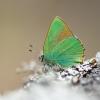 Žalsvasis varinukas (Callophrys rubi) | Fotografijos autorius : Tomas Ivašauskas | © Macrogamta.lt | Šis tinklapis priklauso bendruomenei kuri domisi makro fotografija ir fotografuoja gyvąjį makro pasaulį.