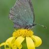 Žalsvasis varinukas - Callophrys rubi | Fotografijos autorius : Žilvinas Pūtys | © Macrogamta.lt | Šis tinklapis priklauso bendruomenei kuri domisi makro fotografija ir fotografuoja gyvąjį makro pasaulį.