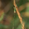 Žalsvoji strėliukė - Lestes virens ♀ | Fotografijos autorius : Gintautas Steiblys | © Macrogamta.lt | Šis tinklapis priklauso bendruomenei kuri domisi makro fotografija ir fotografuoja gyvąjį makro pasaulį.