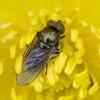 Žalutė | Cheilosia flavipes ? | Fotografijos autorius : Darius Baužys | © Macrogamta.lt | Šis tinklapis priklauso bendruomenei kuri domisi makro fotografija ir fotografuoja gyvąjį makro pasaulį.