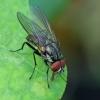 Žiedenė - Anthomyiidae   Fotografijos autorius : Gintautas Steiblys   © Macrogamta.lt   Šis tinklapis priklauso bendruomenei kuri domisi makro fotografija ir fotografuoja gyvąjį makro pasaulį.